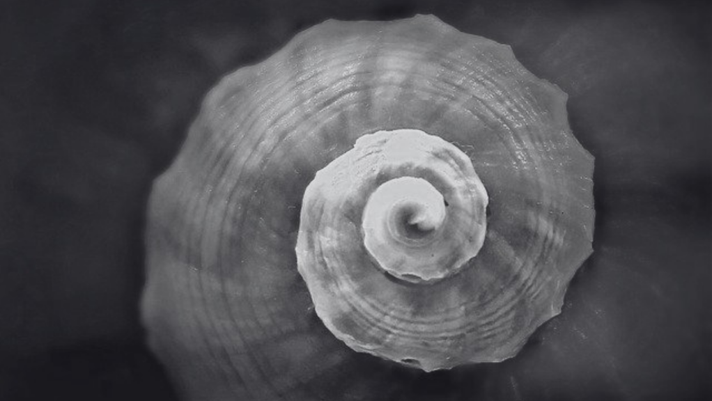 grayscale snail shell image